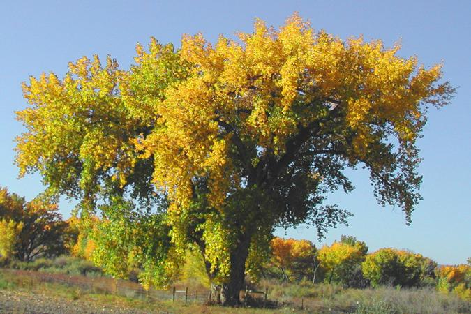 Colorful Cottonwood